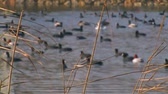 reed : Flock of ducks on the pond. Stock Footage