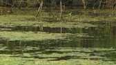 reed : Marshy pond. Stock Footage