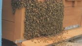 close up : Swarm of bees on a bee box at a Hawaii bee farm