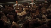 ahtapot : Chicken Farm, eggs and poultry production Stok Video