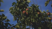 pereira : Bright fruit of pear tree against the sky
