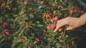 tasteful : Close-up of girls hand to pluck the plums from the branch of a plum tree