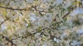 florescence : apple blossom, branches with white flowers, young leaves, blue sky. sunny day.