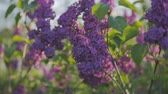 syringa : Blossoming lilacs waving from the spring wind at sunset