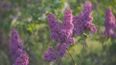 syringa : lilac blossom tree in the garden in the spring sunshine, branches of lilac swaying wind, blossoming garden in spring sunset Stock Footage