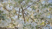 florescence : A blooming branch of apple tree in spring with light wind. Blossoming apple with beautiful white flowers. Branch of apple tree in bloom in the spring in sunshine garden. Stock Footage