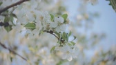 nupcial : A blooming branch of apple tree in spring with light wind. Blossoming apple with beautiful white flowers. Branch of apple tree in bloom in the spring in sunshine garden. Stock Footage