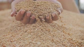aperto : Female woman hands grasp pour golden grain seeds nature agriculture Stock Footage