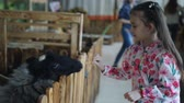 esgrima : Little girl feeds goat and sheep vegetables in a contact zoo or farm.