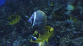 aquático : A colorful Moorish idol fish swimming in a aquarium.