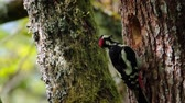 observação de aves : Great Spotted Woodpecker in Vosges, France - Specie Dendrocopos major family of Picidae