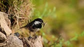 eat : Coal Tit in Vosges, France - specie Periparus ater family of Paridae