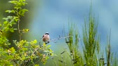 птицы : Red-backed Shrike in Vosges, France - specie Lanius family of lanidae