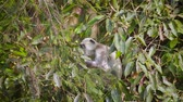 indian subcontinent : Hanuman Langur in Bardia national park, Nepal - specie Semnopithecus entellus family of Cercopithecidae