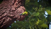 kanha national park : Plum-headed parakeet in Bardia national park, Nepal - specie Psittacula cyanocephala family of Psittacidae
