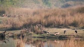 pântano : Wooly-neck stork, crocodile mugger and spotted deer in Bardia National Park, Nepal