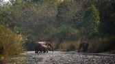 азиатский : Asian Elephant in Bardia National Park, Nepal - specie Elephas maximus family of Elephantidae