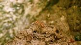 indian subcontinent : Red ants and termite in Bardia National Park, Nepal - eusocial insects of the family Formicidae and isoptera Stock Footage