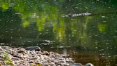 reptil : Mugger Crocodile im Bardia Nationalpark, Nepal - Spezies Crocodilus palustris Familie von Crocodylidae Videos
