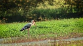 находящихся под угрозой исчезновения : Painted Stork in Bardia National Park, Nepal - specie Mycteria leucocephala family of Ciconiidae