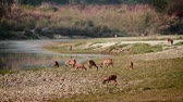 cervidae : Spotted Deer and hog deer in Bardia National Park, Nepal - specie Axix axis and Axis porcinus family of Cervidae