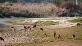 indian subcontinent : Spotted Deer and hog deer in Bardia National Park, Nepal - specie Axix axis and Axis porcinus family of Cervidae