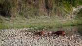 cervidae : hog deer in Bardia national park, Nepal - specie Axis porcine family of Cervidae