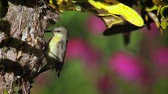 indian subcontinent : Purple sunbird in Bardia National Park, Nepal - specie Nectarinia asiatica family of Nectariniidae