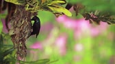 indian subcontinent : Purple sunbird nesting in Bardia National Park, Nepal - specie Nectarinia asiatica family of Nectariniidae Stock Footage