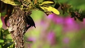 Индия : Purple sunbird nesting in Bardia National Park, Nepal - specie Nectarinia asiatica family of Nectariniidae Стоковые видеозаписи