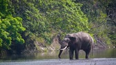 indian subcontinent : Asian Elephant male drinking water in Bardia national park, Nepal - specie Elephas maximus family of Elephantidae Stock Footage