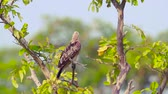 bardia national park : Changeable hawk eagle grooming in Arugam bay nature reserve, Sri Lanka - specie Spizaetus cirrhatus family of Accipitridae Stock Footage