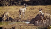 antilop : Group of Greater Kudu Drinking Water in Kruger National Park, South Africa; Specie Tragelaphus strepsiceros family of Bovidae Stok Video
