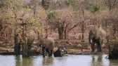 Крюгер : Herd of African bush elephant drinking and bathing in Kruger National Park, South Africa; Specie Loxodonta africana family of Elephantidae