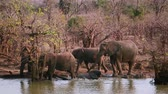 game reserve : Herd of African bush elephant drinking and bathing in Kruger National Park, South Africa; Specie Loxodonta africana family of Elephantidae