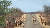 game reserve : Herd of Giraffe walking on safari road in Kruger National Park, South Africa; Giraffa Specie camelopardalis family of Giraffidae