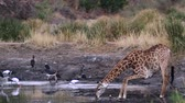 zsiráf : Giraffe drinking in waterhole in Kruger National Park, South Africa; Giraffa Specie camelopardalis family of Giraffidae
