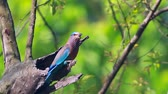 bardia national park : Indian roller bladder in Bardia national park, Nepal - specie Coracias benghalensis coraciidae Stock Footage
