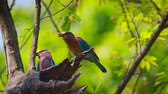 kanha national park : Indian roller couple with spread wings in Bardia national park, Nepal - specie Coracias benghalensis family of Coraciidae
