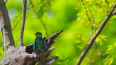 kanha national park : Indian roller bladder in Bardia national park, Nepal - specie Coracias benghalensis coraciidae Stock Footage