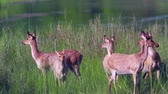 indian subcontinent : Swamp Deer female small group eating grass in Bardia National Park, Nepal - specie Cervus duvaucelii family of Cervidae