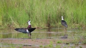 yünlü : Two Woolly necked stork spread wings in Bardia National Park, Nepal - specie Ciconia episcopus family of Ciconiidae