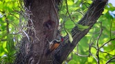bardia national park : Black-rumped flameback nesting and feeding chicks in Bardia National Park, Nepal - Specie Dinopium benghalense family of Picidae