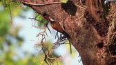 indian subcontinent : Black-rumped flameback nesting and feeding chicks in Bardia National Park, Nepal - Specie Dinopium benghalense family of Picidae