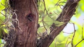 младенец : Black-rumped flameback nesting and feeding chicks in Bardia National Park, Nepal - Specie Dinopium benghalense family of Picidae