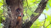 pivert : Black-rumped flameback nesting and feeding chicks in Bardia National Park, Nepal - Specie Dinopium benghalense family of Picidae