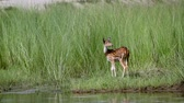 riverbank : Spotted deer in Bardia National Park, Nepal - specie axis axis family of cervidae Stock Footage