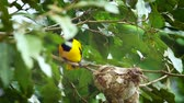 indian subcontinent : Black-hooded oriole incubating in Minnerya National Park, Sri Lanka; Oriolus xanthornus family specie family of Corvidae Stock Footage