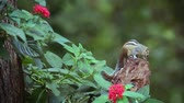 スリ·ランカ : Cute Indian palm squirrel eating in Sri Lanka - Funambulus Specar palmarum family of Sciuridae