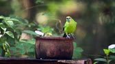 Индия : Jerdons Leafbird bathing and grooming in Minneriya national park, Sri Lanka - specie Chloropsis jerdoni family of Irenidae Стоковые видеозаписи